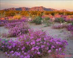 The Desert Carpet Blooms Now