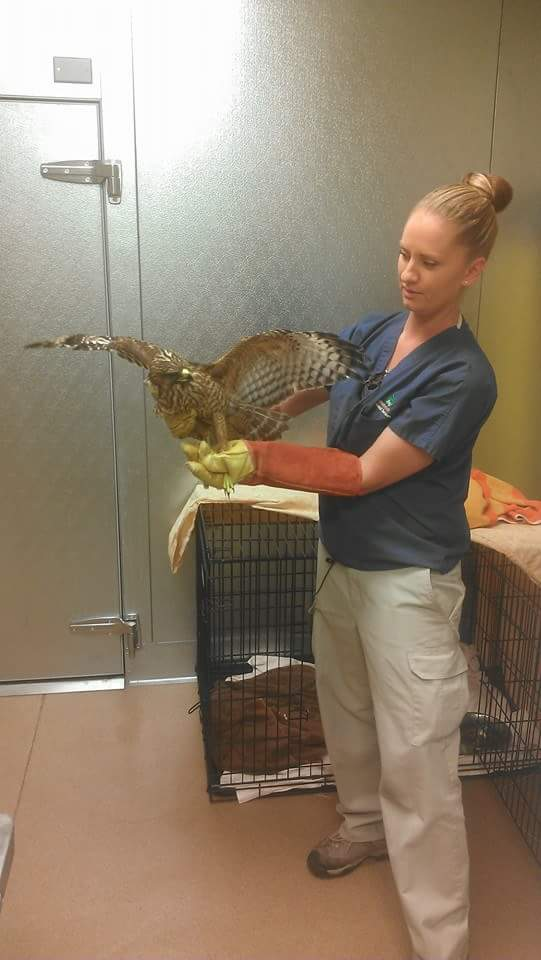 Hebertson examines hawk that was rescued and brought in to the Town of Apple Valley Animal Shelter.